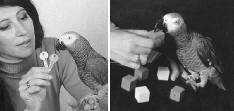Irene Pepperberg et Alex, perroquet gris du Gabon
